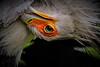 Sekretär ....Kopf nach unten (Fritz Zachow) Tags: weltvogelpark walsrode niedersachsen deutschland europa vogel