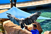 The eagle has landed (andrewsebrio) Tags: eagle bird raptor trained wildlife manila oceanpark philippines show nikon d5500 55300 pilipinas