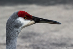 Sandhill Crane profile. (Glotzsee) Tags: nature florida indianrivercounty sebastian outdoors outside glotzsee glotzseefloridaimages wildlife wild animal bird birds sandhillcrane