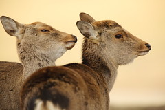 Deer (Teruhide Tomori) Tags: animal deer wild nature japan japon nara shika 奈良 日本 鹿 野生 ニホンジカ 奈良公園