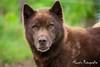 Copper (Moopix.nl) Tags: greenland groenlander sleddog snowdog mushing stakeout georgeous