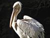 Sonnenanbeter (diarnst) Tags: waterbird pelican wasservogel pelikan white