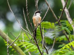 20171124-EM124985 (shutterblades) Tags: birds longtailedshrike olympusem1mkii olympusmzuiko300mmf4pro14tc seletaraerospacehub seletarwestlink