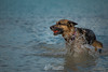 puppy in the lake (vagabondexpedition) Tags: vagabondexpedition yyc dog dogs gsh germanshepard lake abrahamlake germanshephard germansheperd germanshepherd fetch