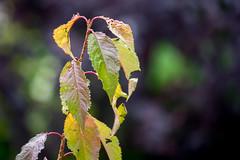 welke Blätter (p.schmal) Tags: olympuspenf hamburg farmsenberne welkeblätter herbstfarben