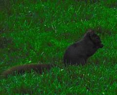 Black Squirrel (linda_lou2) Tags: 117picturesin2017 themeno96 asightforsoreeyes squirrel blacksquirrel hollandmichigan michigan
