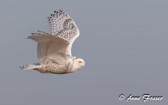 Snowy Owl (Anne Marie Fraser) Tags: owl fly flight snowyowl nature wildlife raptor sky