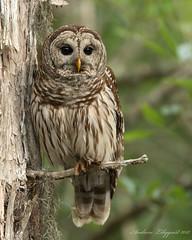 Barred Owl on the Hillsborough River (Alilyquist223) Tags: owl birdsofprey birds birding nikon wildlife nature florida