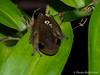 Lace Lid frog - Litoria dayii (paulajie) Tags: lace lid frog litoria dayii tropical wildlife nature queensland australia townsville fauna micro 43 mft olympus omd omdem1markii