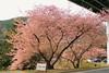 DPP_9465 (catalyst1991) Tags: spring cherry cherryblossom dangling danglingcherry park pink yellow genpeipeach beautiful flower tokyo japan japanesebeauty happyflower japanesemind laimo macro blossom kawadsu izu