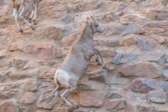 Bighorn Sheep lamb showcases its climbing ability