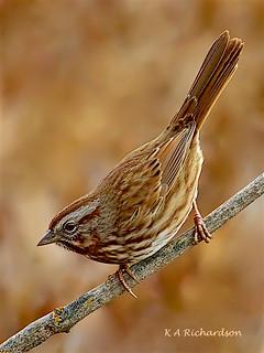 Song Sparrow (Melospiza melodia) -01