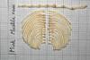 American Mink (JRochester) Tags: american mink mustela vison bone bones skeleton ribs sternum