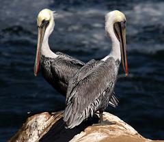 Two birds with one stone (windyhill623) Tags: bird waterfowl pelican brownpelican pelecanusoccidentalis lajolla sandiego california avian animal outdoor ocean seashore waterbird animalplanet