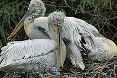 Dalmatian pelican / Kroeskoppelikaan (K.Verhulst) Tags: blijdorp blijdorpzoo diergaardeblijdorp rotterdam dalmatianpelican pelican pelikaan kroeskoppelikaan birds vogels bird coth5