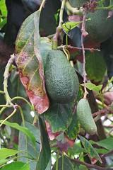 avocado fruits :) (green_lover) Tags: avocado awokado fruits branches tree green tenerife canaryislands 7dwf