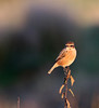 4 Female Stonechat, Crisp golden autumn afternoon at Oare KWT nature reserve (Jim_Higham) Tags: oare kwt nature reserve kentwildlifetrust wild wildlife natural kent england english british britain uk eu europe