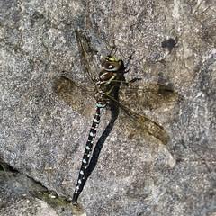 Hawker Dragonfly below Thorn Gill
