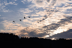 Swan on Pond (kat-taka) Tags: ã¬ãã bird morning pond water swan sunrise blue sky cloud