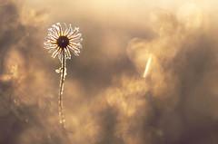 Vegetal sun (donlope1) Tags: macro nature light proxi vegetal flower fleur bokeh sun sunrise flare winter ice frozen