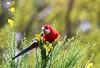 Zealandia ~ Rosella (whitebear100) Tags: zealandia wellington nz newzealand 2017 northisland
