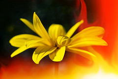 """Flames of flower • <a style=""""font-size:0.8em;"""" href=""""http://www.flickr.com/photos/47193820@N08/38280833806/"""" target=""""_blank"""">View on Flickr</a>"""