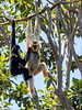 White-cheeked Gibbon (Pursuedbybear) Tags: adelaide adelaidezoo whitecheekedgibbon gibbon nomascusleucogenys