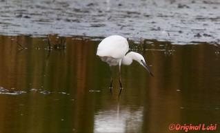 Seidenreiher/Silky Heron (Egretta Garzetta)