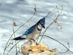 A Berry Beautiful Jay (LupaImages) Tags: berries jay bluejay bird feathers snow december cold winter red blue animal nature wild wildlife