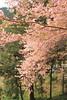 DPP_9466 (catalyst1991) Tags: spring cherry cherryblossom dangling danglingcherry park pink yellow genpeipeach beautiful flower tokyo japan japanesebeauty happyflower japanesemind laimo macro blossom kawadsu izu