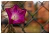 La belle échappée (Jean-Marie Lison) Tags: x100t bruxelles ruedebirmingham fleur grillage macro anderlecht