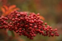 .....red..... (valeriaconti136) Tags: nature nandinadomestica rosso bacche pianta allaperto lombardia canoneos80d