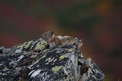 IMG_6942 (Simon M Hendry) Tags: denalinationalpark alaska wildlife pika rodent rocks