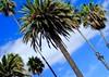 Santa Monica Palms (joejanecek) Tags: palmtree palm santamonica