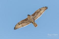 Ferruginous Hawk flyover