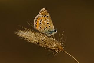 Polyommates icarus (13)