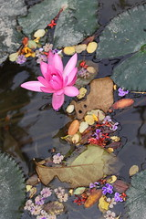 Lotus and Assorted Flowers (do_japan) Tags: lotus assorted flowers golden lion lake butterfly garden water pond lilly pad