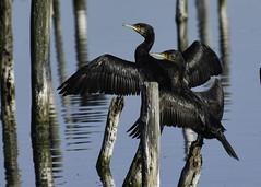 cormorans (jpasserieux) Tags: leteich cormoran