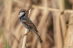 Spanish sparrow (Dave 5533) Tags: spanishsparrow sparrow bird birds songbird animal wild nature outdoor birdsinisrael naturephotography wildlifephotography canoneos1dx ef300mmf28lisiiusm canonextender2xiii ngc