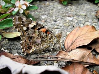 Butterfly 1502