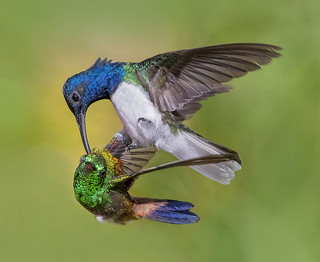 Conflict in Eden, a White Necked Jacobin decides to get even with a Copper Rumped Hummingbird that had attacked him before. San Pablo Retreat and Guest House, Valencia, Trinidad.