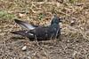 Nesting (just.Luc) Tags: parcdelatêtedor lyon nature natuur gaia animal dier tier vogel bird oiseau pigeon duif france frankrijk frankreich francia frança parc park europa europe