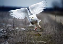 Hunting (paulh192) Tags: owl snowyowl flight blood beautiful wings michigan nikon sigma