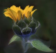 Fleur de Tournesol (thistas) Tags: fleur tournesol jaune nature