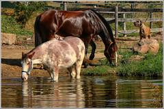Cy and Samson (2.5 Million + views!!! Thank you!!!) Tags: canon eos 18135mmstm psp2018 paintshoppro2018 efex topaz horses horse triplecfarm farm animals cyclone samson swimming ontario canada