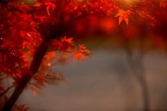 Maple (MelindaChan ^..^) Tags: gyeongju skorea 慶州 chanmelmel mel melinda melindachan maple autumn fall season travel