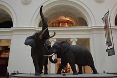 Chicago, IL - Grant Park - Field Museum - African Elephants (jrozwado) Tags: northamerica usa illinois chicago museum fieldmuseum naturalhistory grantpark elephant taxidermy diorama