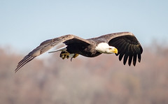 Heading for the trees (tresed47) Tags: 2017 201711nov 20171120conowingoeagles birds canon7d conowingo content eagle fall flightshot folder general maryland november peterscamera petersphotos places season takenby us ngc npc