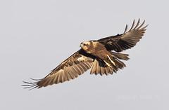 circus aeruginosus (Josep M.Toset) Tags: aus animalia chordata accipitridae catalunya ocells ocellderapinya aiguamolls nikon d500 josepmtoset rapinyaires fauna accipitriformes sigma150600mmsports