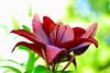lily......... (atsjebosma) Tags: bloem lily lelie bokeh colourful kleurrijk atsjebosma sunne sweden zweden 2017 rottnerosgardens coth5